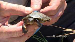 OO Western Pond Turtles RB tb Rerun mp Still